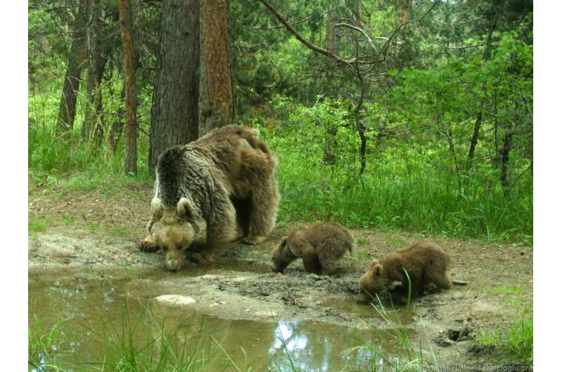 Migratory bears down in the dumps