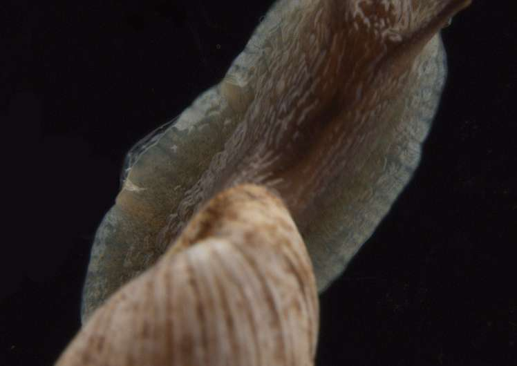 New land snail species from Australia shows dissection not necessary to identify molluscs