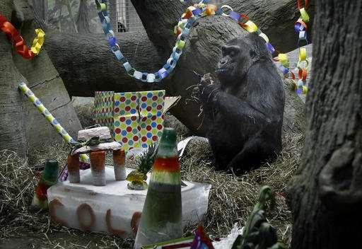 Oldest zoo gorilla doing well after biopsy before birthday