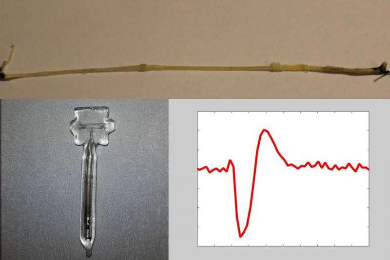 Optical magnetic field sensor can detect signals from the nervous system