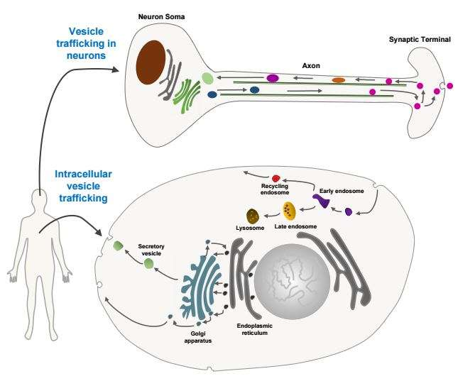 Optogenetic system inhibits intracellular membrane vesicle trafficking