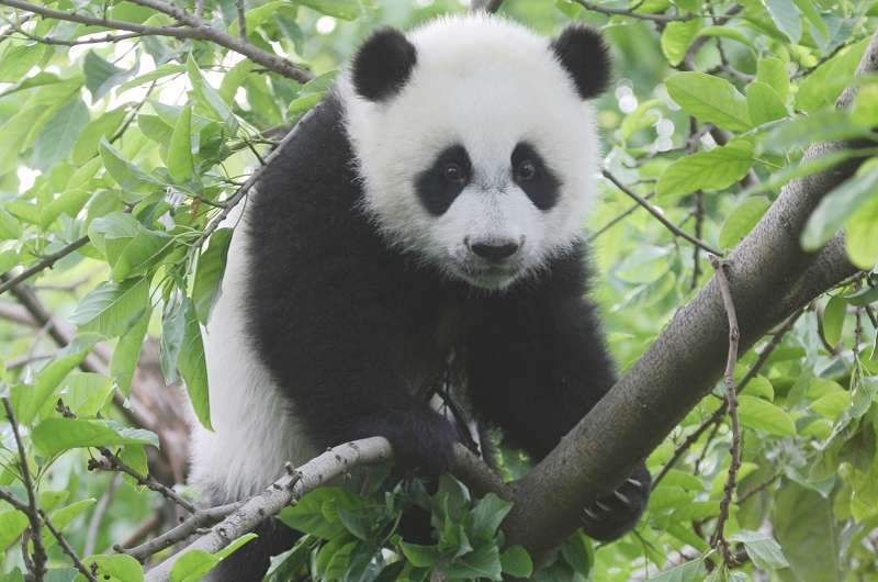 Pandas don't like it hot: Temperature, not food is biggest concern for conservation