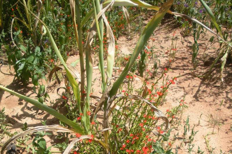 Parasitic plants may form weapons out of genes stolen from hosts