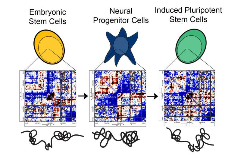 Penn bioengineers show why lab-made stem cells might fail: Errors in DNA folding