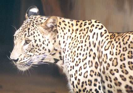 Persian leopard cubs born in Russian reintroduction centre