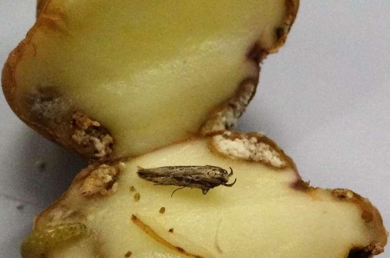 Potato plants trigger aboveground defenses in response to tuber attacks