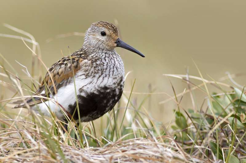 Russian and US scientists collaborate to map migration paths of Arctic breeding birds