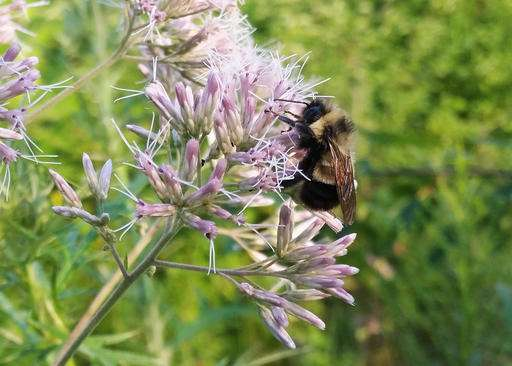 Rusty patched bumble bee recommended for endangered list