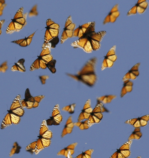 Scientists crack secrets of the monarch butterfly's internal compass