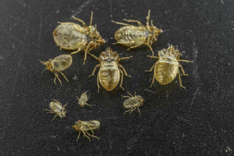 Shed skins of bed bugs emit pheromones that could help combat infestations of the insect
