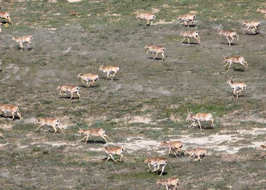 Signs of hope for saiga after mass die-off