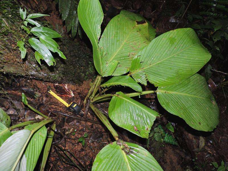 Smithsonian botanist discovers new ground-flowering plant in Panama