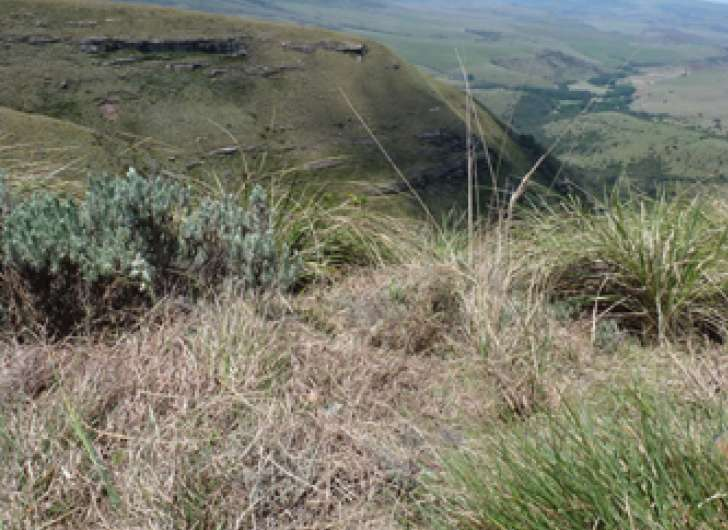 South African endemic mountain plant gives itself up after 147-year absence