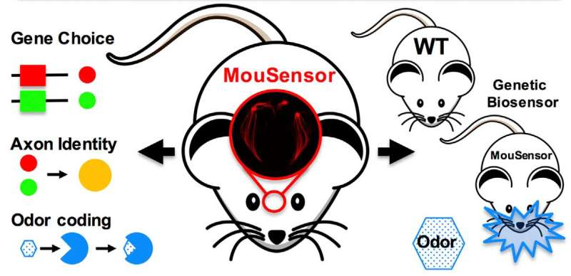 Super-sniffer mice could detect land mines and decode human olfactory system