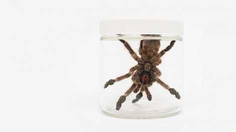 Tarantula toxins offer key insights into neuroscience of pain