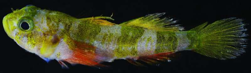 The Godzilla goby is the latest new species discovered by the Smithsonian DROP project