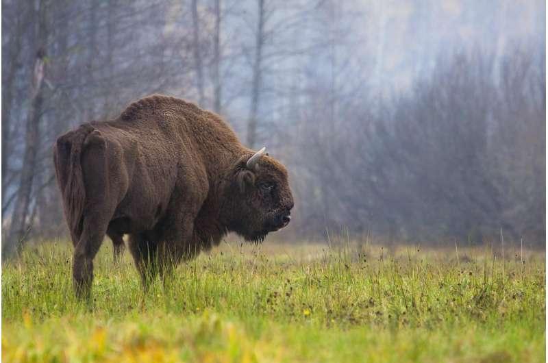 The Higgs Bison -- mystery species hidden in cave art