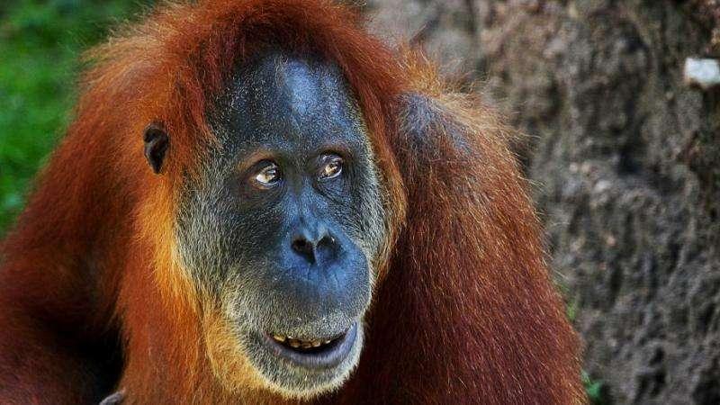 The history of orangutans in human culture