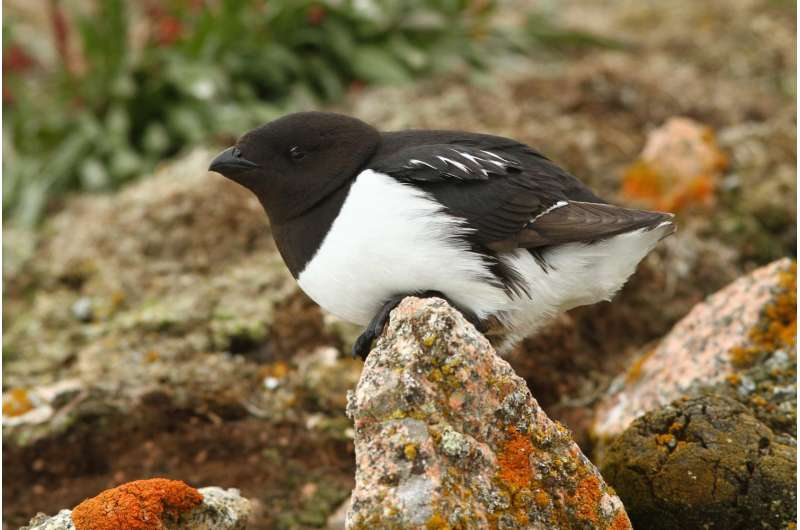 Underwater terrain may be key factor in little auk foraging