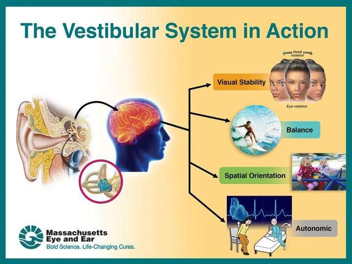 Vestibular function declines starting at age 40