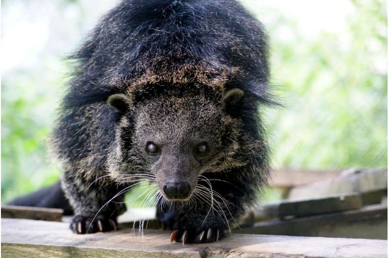 Why bearcats smell like buttered popcorn