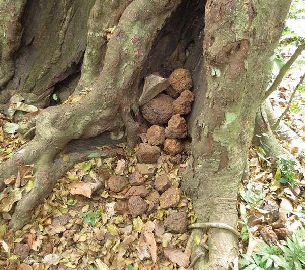 Why do chimpanzees throw stones at trees?