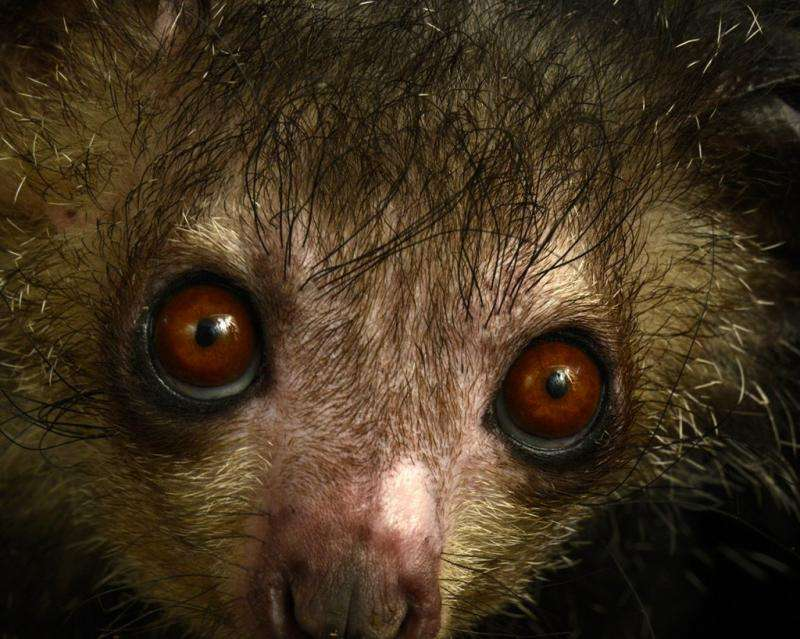 Why testing lemur color vision is harder than it looks