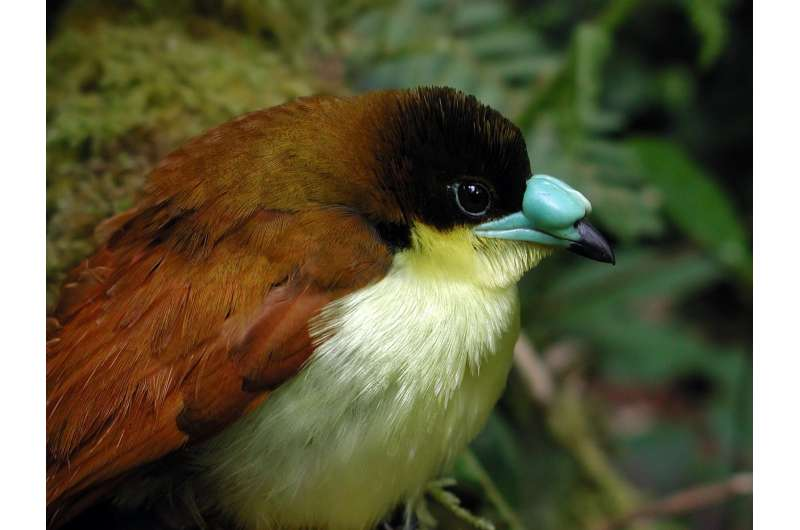 New research shows how songbirds island-hopped out of Australia