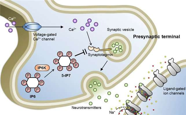 Research team identifies a neuron signal controlling molecule