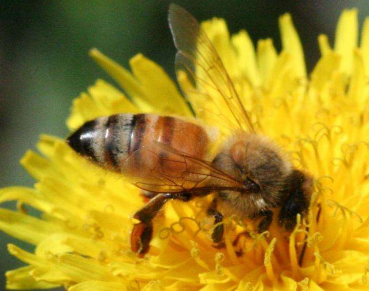 Researchers discover how honey bees 'telescope' their abdomens