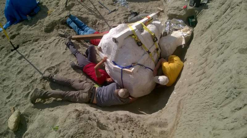 University of Washington paleontologists discover major T. rex fossil