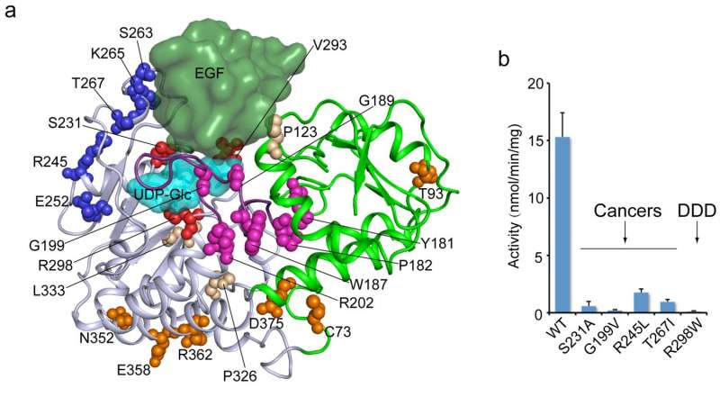 Scientists determine structure of enzyme linked with key cell-signaling protein