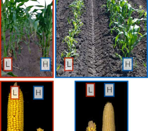 Scientists reach back through centuries of cultivation to track how corn adapted to different elevations, environments