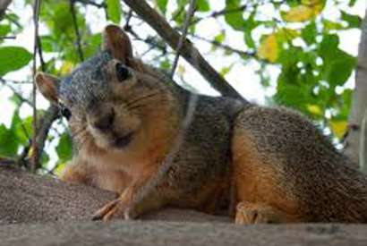 Study reveals fox squirrels' tell-tail signs of frustration