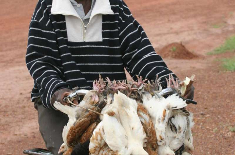 Africa's oldest domestic chicken bones are relics of ancient Red Sea trade route