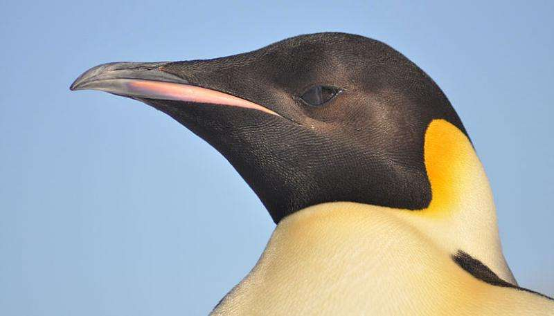 Full circumpolar migration ensures evolutionary unity in the Emperor penguin