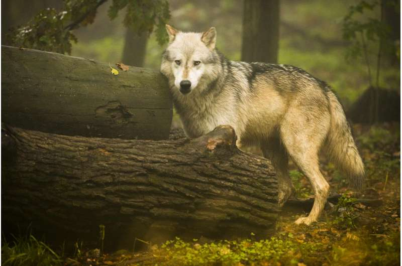 'Gambling' wolves take more risks than dogs