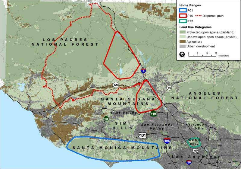 Los Angeles is a metropolitan den for mountain lions