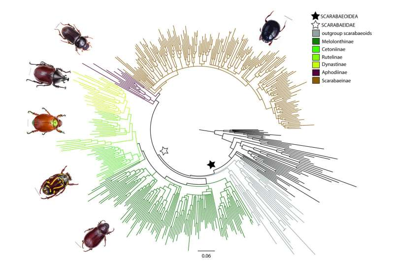 New evidence connects dung beetle evolution to dinosaurs