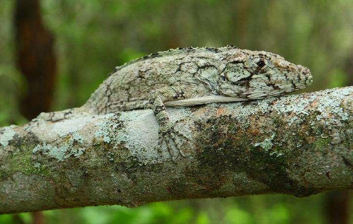 New lizard found in Dominican Republic