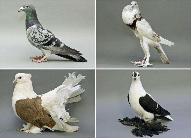 Pigeon foot feather genes identified