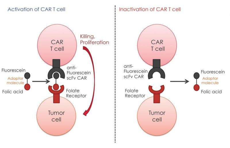Research could expand engineered T-cell cancer treatment