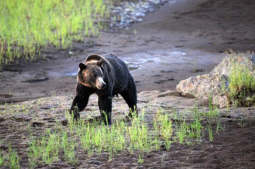 Rocky Mountain states prepare for return of grizzly hunts