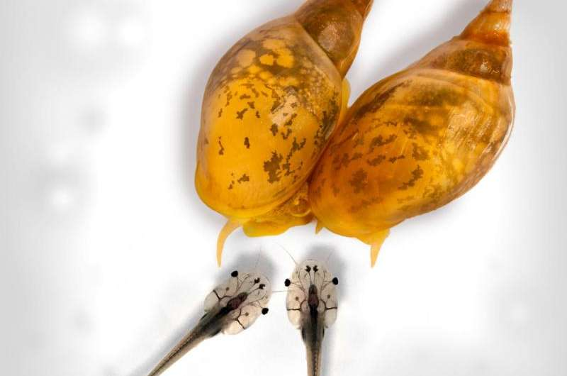 What twisting snails can tell us about animals' intriguing asymmetries