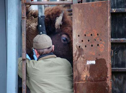 Yellowstone bison heading for slaughter as park trims herd
