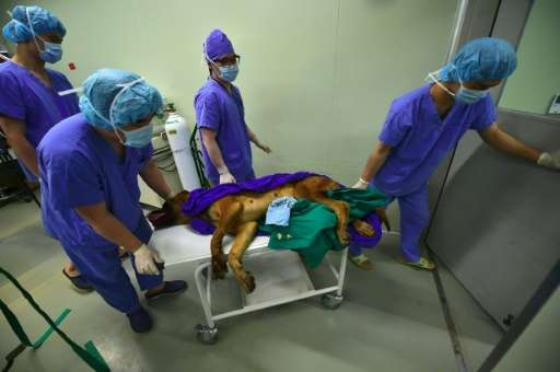 Researchers transports a surrogate mother dog after an embryo-injection operation at Sooam Biotech