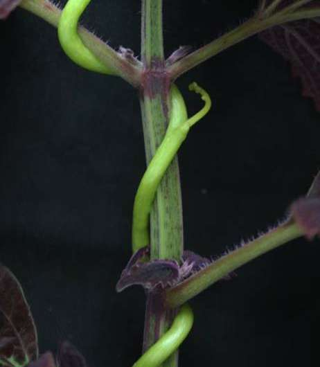 Researchers uncover the mechanism which triggers host plant resistance against parasitic plants