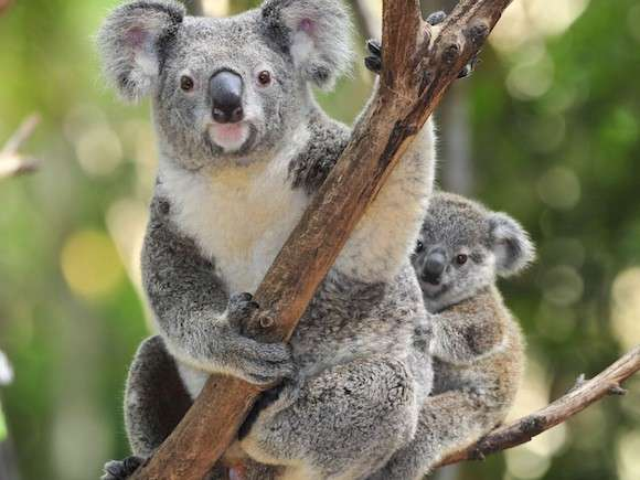 Climate change likely to turn up heat on koalas