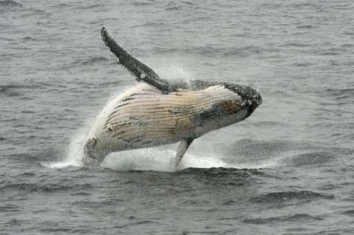 A humpback whale jumps out of the water in the western Antarctic peninsula