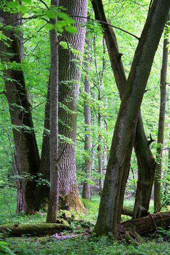 Fate of primeval forest in balance as Poland plans logging